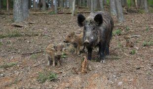 Wildsau mit Ferkeln im Hirsch und Saupark